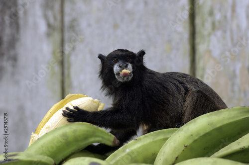 canvas print picture Black Monkey