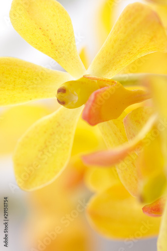 Closeup Yellow Orchid