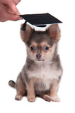 Clever chihuahua puppy wearing mortarboard hat for graduation