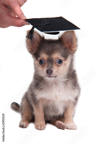 Foto op Canvas Dragen Clever chihuahua puppy wearing mortarboard hat for graduation