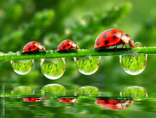 Obraz na Plexi Three Ladybugs.