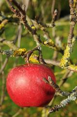 Bioapfel - Apfelbaum mit Flechten in gesunder Luft