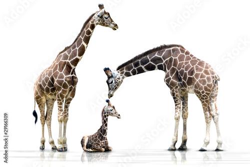 Fotobehang Giraffe Familienglück