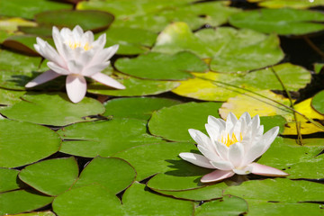 Two beautiful blooming pink water liliesl in the pond