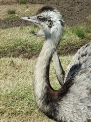 The Ostrich (Struthio camelus)