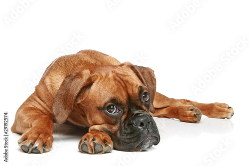 German Boxer puppy (5 month) lying on a white background