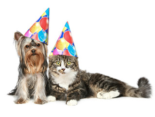 Yorkshire terrier and a Norwegian forest cat in party cap