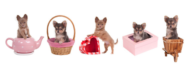 Chihuahua puppies with gift boxes, cart, basket, teapot isolated
