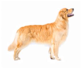 Posing golden retriever dog isolated on white