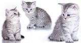 British purebred kitten poster