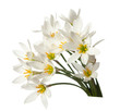 lilies isolated on a white background. zephyranthes candida
