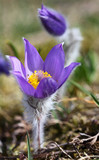 Spring flowers of Pulsatilla