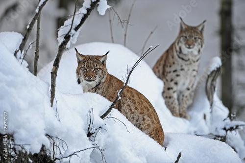 Papiers peints Lynx Luchse im Schnee