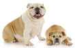 bulldog mother and puppy