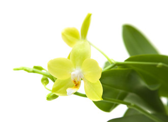 yellow phalaenopsis orchid plant; isolated on white;