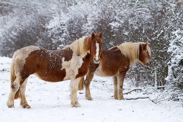 Two Horses in winter on a snowy landscape