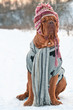 Dogue De Borgeaux dressed with hat, scarf and sweater on a snow