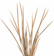 Ornamental Grass 1