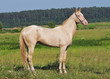 perlino horse