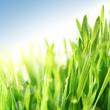 Fresh spring summer grass in sunshine under blue sky