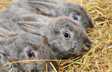 three rabbit
