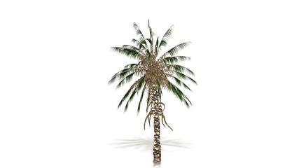 Palm Tree Growth