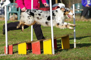 agility dog australian shepherd