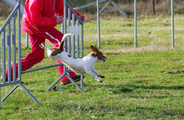 agility dog jack russell