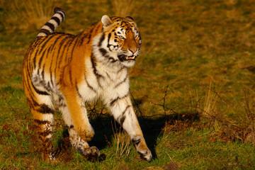 Siberian Tiger on the run