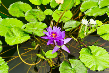 purple water lily in pond
