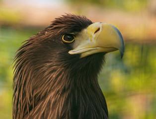 Head of kamchatka eagle in zoo