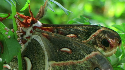 Male Cecropia Moth