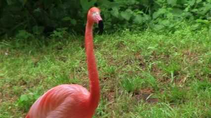American Flamingo Walking