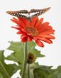 Butterfly Hovering Over Gerbera Daisy