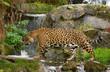 A jaguar (O. Onca) walks in the jungle-themed enclosure