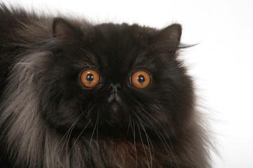 portrait d'un chat noir porte malheur