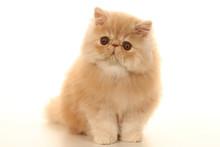 Szczeniak kot perski kryty