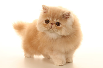 allure pataude du jeune chat persan
