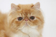 beautiful portrait of a persian cat
