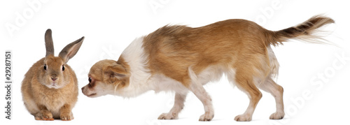 Chihuahua sniffing rabbit in front of white background