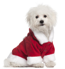 Bolognese puppy in Santa outfit, 6 months old, sitting in front