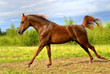 Proud red arabian horse gallop