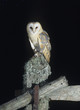 Barn owl perching on fence post