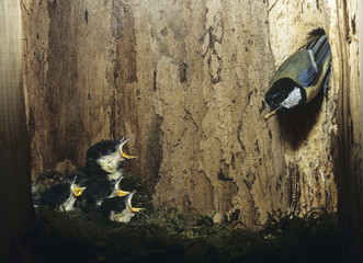 Great tit feeding her chicks