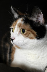 calico cat at night