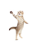 jumping kitten or cat  striped Scottish fold isolated studio sho