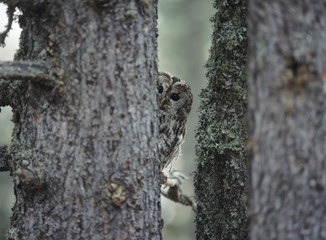 Owl peeking from behind tree