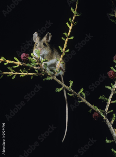 Kangaroo rat on twig