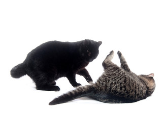 Two cats playing and fighting