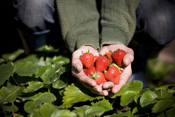 A man holding a handful of strawberries, close-up